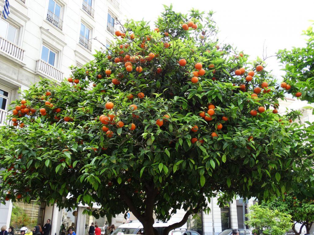 Афины мандарины