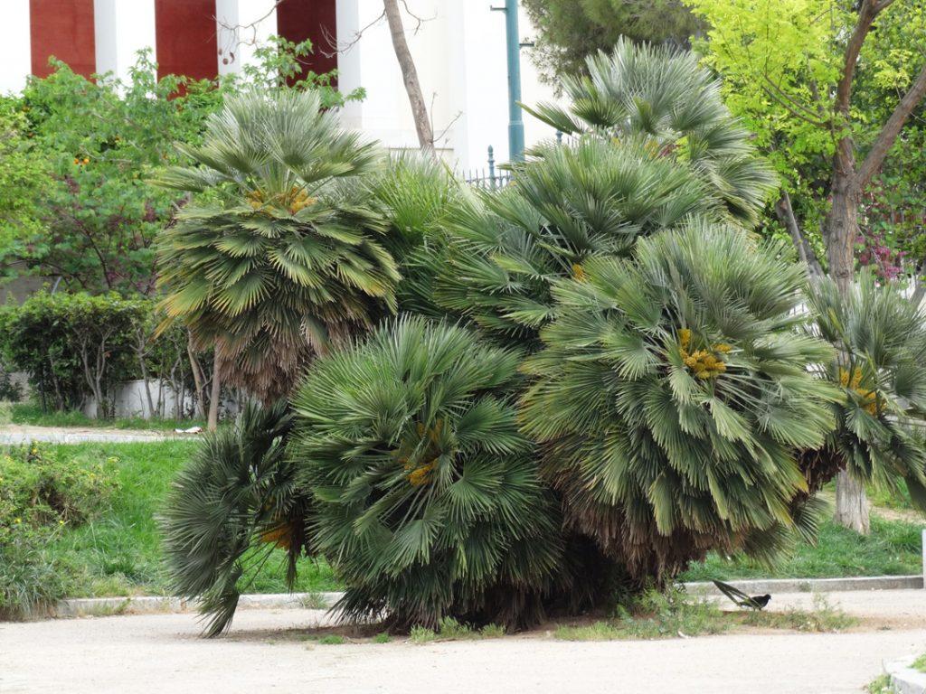 Афины пальмы