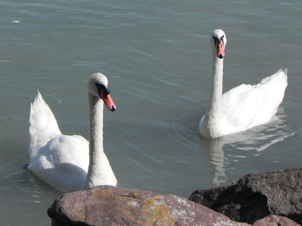 Балатонфюред. Лебеди
